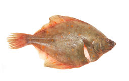 Plaice. Flat fish isolated on white royalty free stock photography