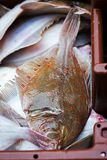 Plaice fish on seafood market. Plaice fish on fish market Stock Photography