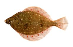 Plaice Fish Isolated on White Royalty Free Stock Images