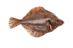 Plaice fish isolated on a white studio background. Royalty Free Stock Photo