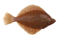 Plaice Fish Stock Image