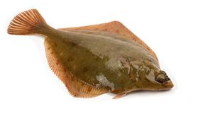 Plaice Fish Pleuronectes platessa. Isolated on White Background Stock Images