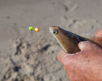 Plaice on fishing rod. Plaice in the hand of fisherman Royalty Free Stock Photography