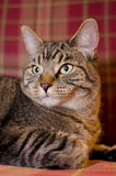 plaid γατών 3 ανασκόπησης Στοκ φωτογραφία με δικαίωμα ελεύθερης χρήσης