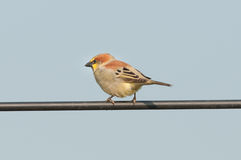 Plain-backed Sparrow Stock Images