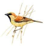 Plain-bakced Sparrow Royalty Free Stock Photos
