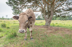 Plain brown cow looks at you Royalty Free Stock Photos