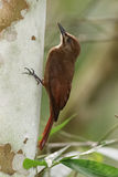 Plain-brown Woodcreeper Climbing Up a Tree - Panama Stock Photography