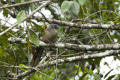 Plain Chacalaca Perched on LIchen Covered Branch Royalty Free Stock Photo