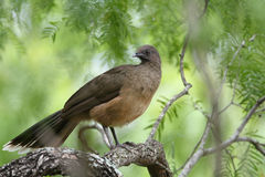 Plain Chachalaca Stock Photography