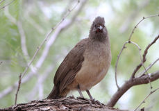 Plain Chachalaca (Ortalis vetula) Royalty Free Stock Photos