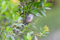 Plain-colored Seedeater Royalty Free Stock Photos