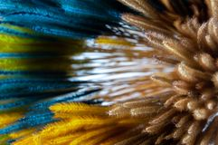 Plain and colorful dyed of dry Pennisetum grass flower. royalty free stock photo