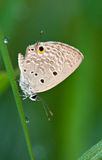 Plain cupid butterfly Stock Images