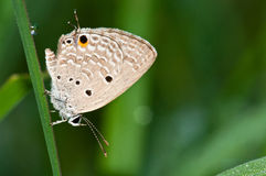 Plain cupid butterfly Royalty Free Stock Image
