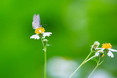 Plain Cupid eating. On while and yellow flower Royalty Free Stock Images