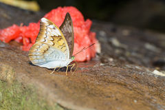 Plain earl butterfly Stock Images