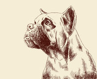Plain fawn Boxer dog Royalty Free Stock Photography