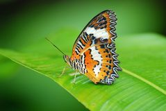 Plain lacewing butterfly royalty free stock images