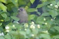 Plain Laughingthrush. The close-up of a Plain Laughingthrush in leaves. Scientific name: Garrulax davidi Royalty Free Stock Photo