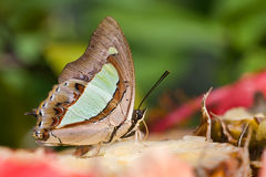 Plain Nawab butterfly Royalty Free Stock Photography