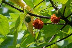 Plain paper mulberry tree may be an important evidence for the South Island language `going out of Taiwan`. The multinational research team of Taiwan University stock images