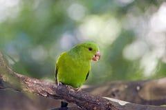 Plain parakeet or Brotogeris tirica Stock Image