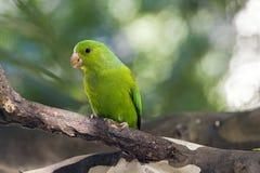 Plain parakeet or Brotogeris tirica Stock Images