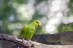 Plain parakeet or Brotogeris tirica Royalty Free Stock Image