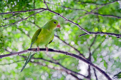 Plain parakeet or Brotogeris tirica Royalty Free Stock Images