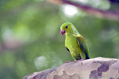 Plain parakeet or Brotogeris tirica Stock Photography