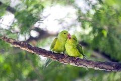 Plain parakeet or Brotogeris tirica Stock Photos
