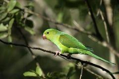 Plain parakeet, Brotogeris tirica Stock Photography