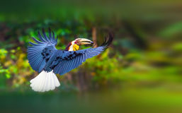 Plain- pouched Hornbill Stock Photos