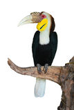Plain-pouched Hornbill Stock Photo