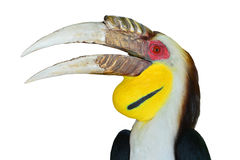 Plain-pouched Hornbill Royalty Free Stock Photography