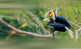 Plain-pouched Hornbill Royalty Free Stock Photos