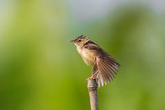 Plain Prinia - after bathing. Plain Prinia standing  - after bathing Royalty Free Stock Photography
