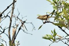 Plain Prinia bird Stock Images
