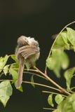 Plain Prinia Bird In Nepal Stock Image