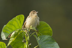Plain prinia bird in Nepal Stock Images