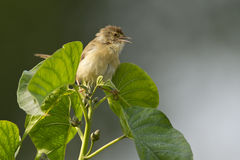Plain prinia bird in Nepal Royalty Free Stock Photo