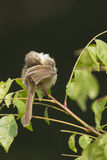 Plain prinia bird in Nepal Stock Image