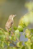 Plain prinia bird in Nepal Stock Photos