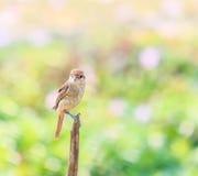Plain Prinia bird Stock Photo