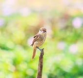 Plain Prinia bird Royalty Free Stock Photos