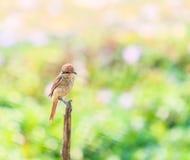 Plain Prinia bird Royalty Free Stock Image