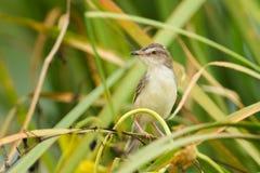 Plain Prinia bird Royalty Free Stock Photo
