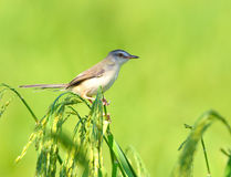 Plain Prinia Stock Photography