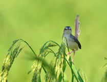 Plain Prinia Stock Photos